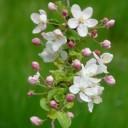 apple-blossoms-55773_640