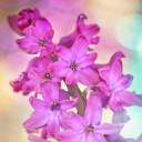 hyacinth-743171_640
