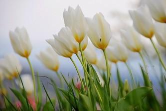 tulip-2405043_640