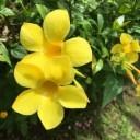 yellow-bell-2696397_640