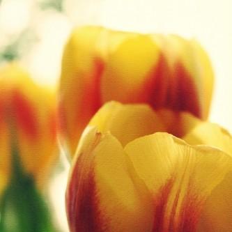 tulips-1154540_640