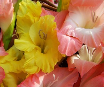 gladiolus-1645183_640