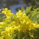 mimosa-3244778_640