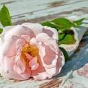 rose-2378156_640