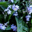 forget-me-not-3307190_640