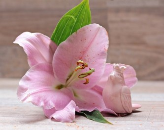 lily-2007833_640