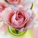 rose-3086563_640