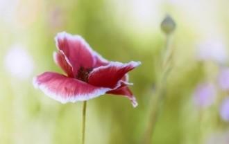 poppy-5325623_640