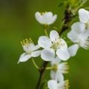 white-flowers-6191822_640