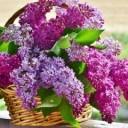 lilac-3366467_640
