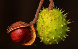 chestnut-4460384_640